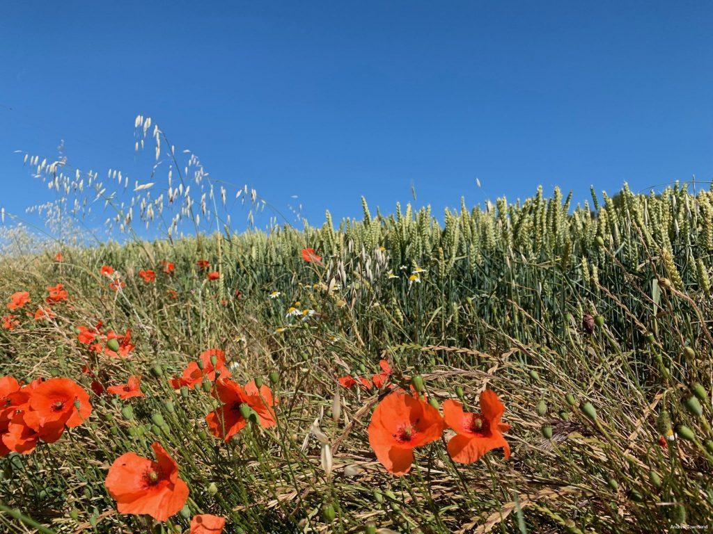 Poppies on the Camino de Santiago